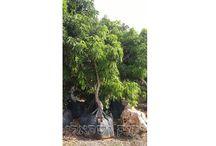 מבצע עצים בוגרים לגינה