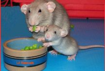 Rats are Fun