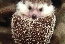 I love hedgehogs