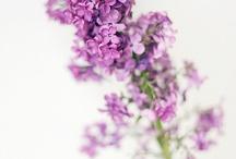 Fl : Lilacs