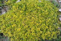 Kakukkfű - Thymus citriodonus/vulgaris
