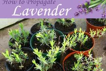 Lavender and its propogation