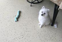 Ludo -The American Eskimo Pup