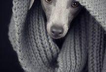 Italian Greyhound / My future doggy!!❤