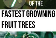 fruit trees / growing fruit
