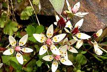 Scottish Mountain Flora