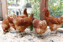Chickens - Curious Critters / Ideas and tips to keep your backyard hens active and your chicken coop environment enriching.
