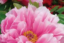 Flora: Peonies