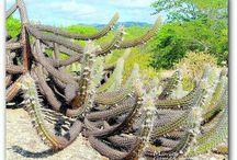 Natureza / Cactus do Agreste  Brejo da Madre de Deus  Fazenda Nova  Pernambuco