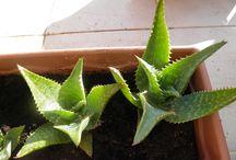 Aloe collection. / Varietà di aloe.