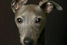 Greyhound Ear Poses