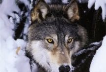 Animals - Wolves/Loups