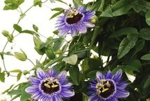 flowering trellis vines