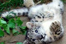 Snow Leopards / by Allison McDonald