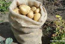 Cómo sembrar y cultivar patatas / Las variedades tempranas de patatas necesitan al menos 90 días para ser cosechadas, temperatura del suelo superior a 7ºC y su parte aérea se hiela a 0ºC.