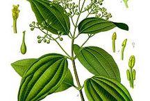 Liście cynamonu