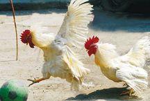 Chicken Coops and Activities
