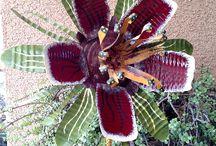 τενεκεδενεια λουλούδια