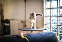 Léon - American Curl / Grimpeur hors pair aux oreilles retournées, il ne s'arrête jamais de jouer! Ce petit chat n'a peur de rien et viendra certainement vous embêter pour des câlins, et bien sûr, c'est impossible de lui dire non!