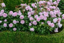 Rose bed ideas