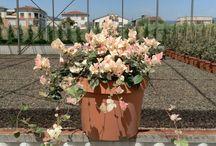 Trachelospermum Asiaticum Tricolor