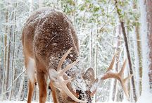 ANIMALS...Deer / by Judy O