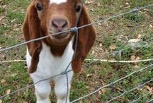 Goats / by Julie Sackenheim