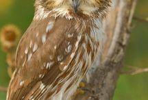 совы/ κουκουβάγια/ owl.