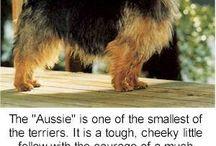 Lucy. / Australian Terrier