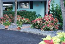 Perpetual Poinsettia -- How to Care for a Poinsetta / What to do with a poinsettia after the holidays? How to best care for these tropical holiday harbingers?