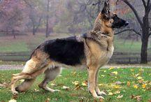 Cão Pastor / German Shepherd