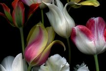 tulips / by Bloem.Flowers.Chocolate.Paperie