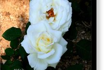 Two White Roses!