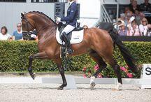 Le Gelderland / Le Gelderland (nommé aussi Gelder ou Gueldre), qui est originaire de la province de Gueldre au Pays Bas, fut longtemps un cheval d'attelage et militaire.