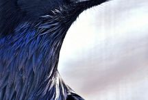 Raven and crow / Inspiration to paint