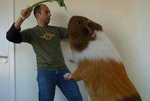 Guinea pig Fan