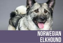 Norwegian Elkhound / A solid, sturdy hunter of elk, bear and other wild animals, the Norwegian Elkhound has a temperament that is dignified, independent and generally, friendly. A hardy silver-grey dog with distinctive saddle markings and medium in size and substance, the Norwegian Elkhound is not only know for its hunting ability but also for its versatility and stamina, which in rugged terrains remains unparalleled.