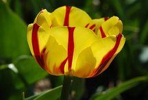 Two Tone Tulips
