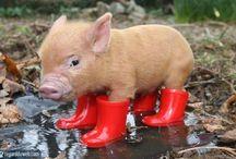 Pigs / L'année prochaine, un petit cochon de compagnie ?