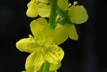 TERAPIA FLORAL DE BACH / Sistema Floral de Bach de 37 flores y un preparado que es de agua de roca (rock water) para prevenir o mejorar estados emocionales o vibratorios desequilibrantes...