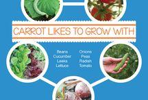 companion veggie planting