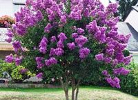 Flowering Trees/Shrubs