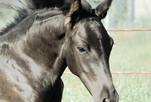 Offspring by Avalon Sires / Foals from all over the globe, sired by the Avalon Stallions!
