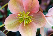 Hellebores / Hellebores available in our perennial yard 2013.