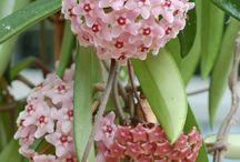 mum çiçeği hoya