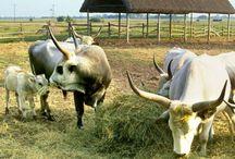 Hungarian farm