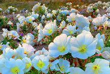 FIEID  OF FLOWERS (pola kwiatowe)