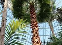 Palm Dome / Palm Trees in the Marjorie McNeely Conservatory