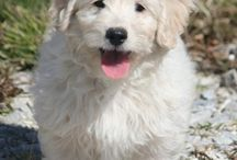 Doodle bug/ my golden doodle  / by Kimberly Bell
