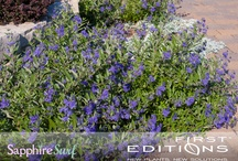 Sapphire Surf Bluebeard / New for 2012!  First Editions® Sapphire Surf™ Bluebeard will have you amped about your epic garden spaces!